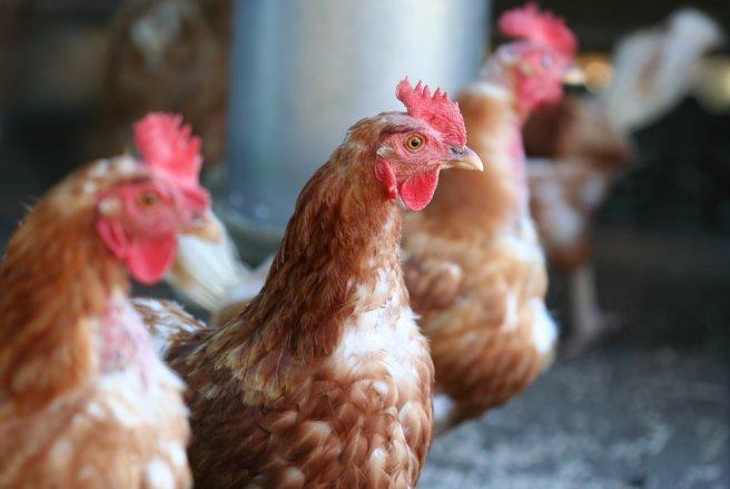 Tout comme le système français de retraite, les poules actives travaillent pour payer la retraite de leurs aînées. © Shutterstock