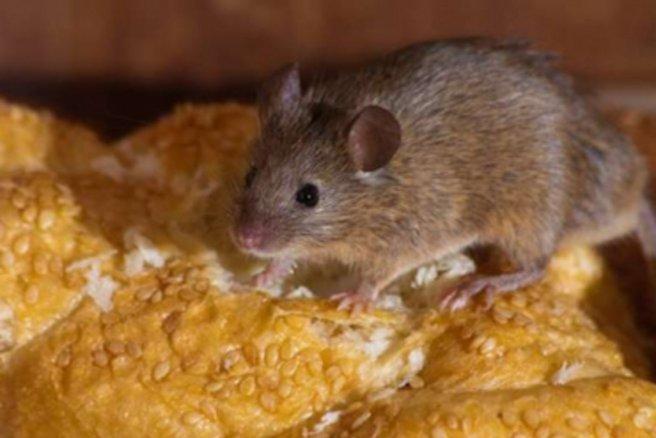 Tuer Les Souris Dans Les Maisons invasion de souris : comment s'en débarrasser ?