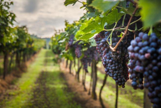 La production de vin pour 2017 aurait chuté de 19 % par rapport à 2016. © Shutterstock