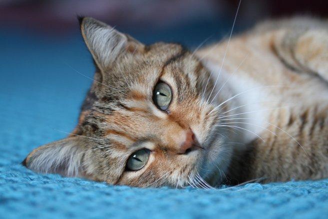 Le chat possède des talents de communication hors norme, qu'il utilise notamment pour vous montrer son bonheur irrévocable d'être à vos côtés.