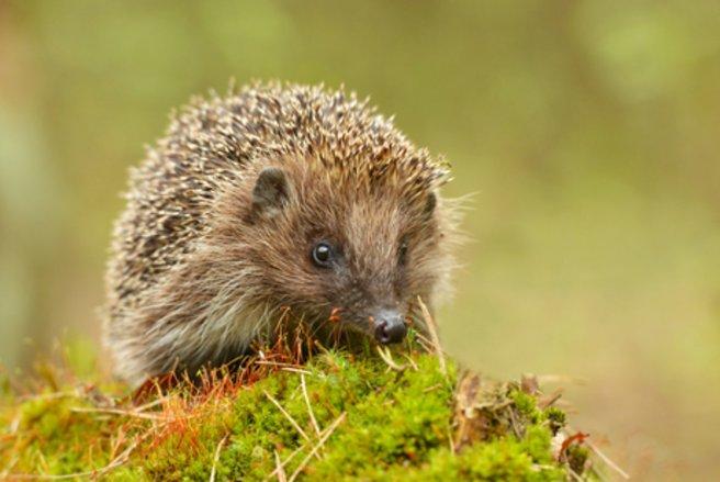Le hérisson est de plus en plus menacé de disparition en France - © Shutterstock