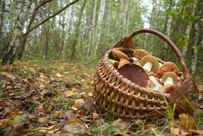 Il est important de discerner les champignons comestibles des champignons toxiques durant la cueillette. © Shutterstock.